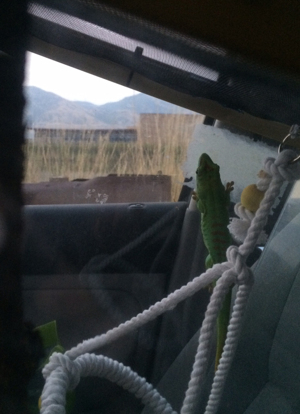 Sigma the Madagascar giant day gecko looking out the window at Wyoming