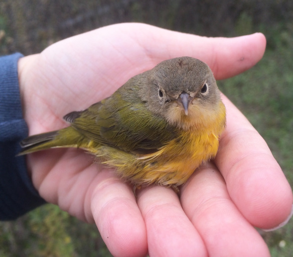 A lovely Nashville Warbler who collided with a window downtown, who I warmed up and kept safe until he could fly off again